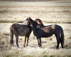 Wild Horses March 2017