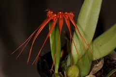 Bulbophyllum pecten-veneris (syn Bulbophyllum tingabarinum) 2017-03-13 01