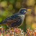 European Starling - Photo (c) peterichman, some rights reserved (CC BY)