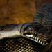 Small photo of Amethystine python