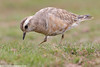 DOTTEREL Charadrius morinellus by Rich Andrews