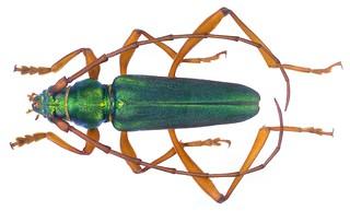 Hybunca chrysogramma callichromoides (Hintz, 1919) Male