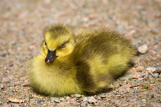 Sleepy New Gosling