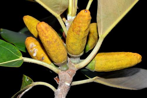 Ficus pleurocarpa DSC_0369 (18)