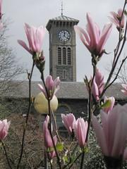 flower, magnolia, plant, flora, spring, pink, petal,