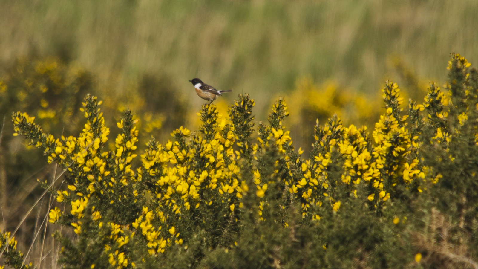 Stonechat sing from the gorse
