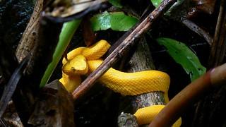 Eyelash Palm Pitviper - Cahuita / Costa Rica