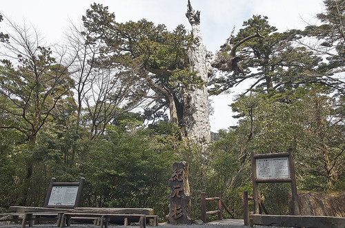 【写真】2014 離島めぐり : 紀元杉/2021-04-07/PICT6099