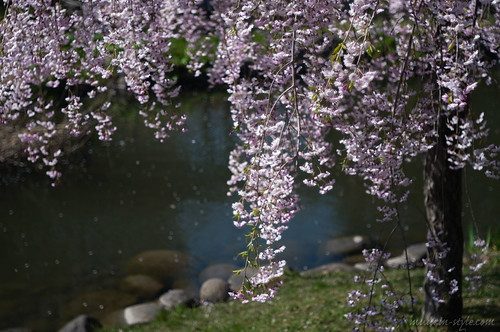 cherry tree of drooping branches