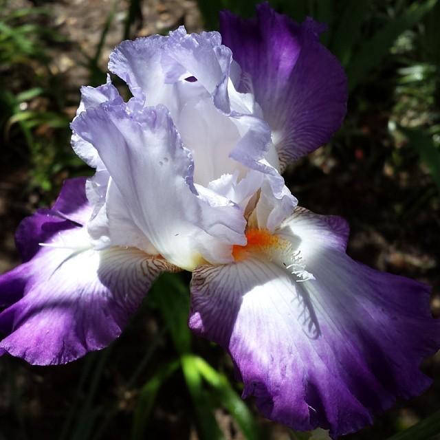#nofilter #iris #flowers #spring #gardening