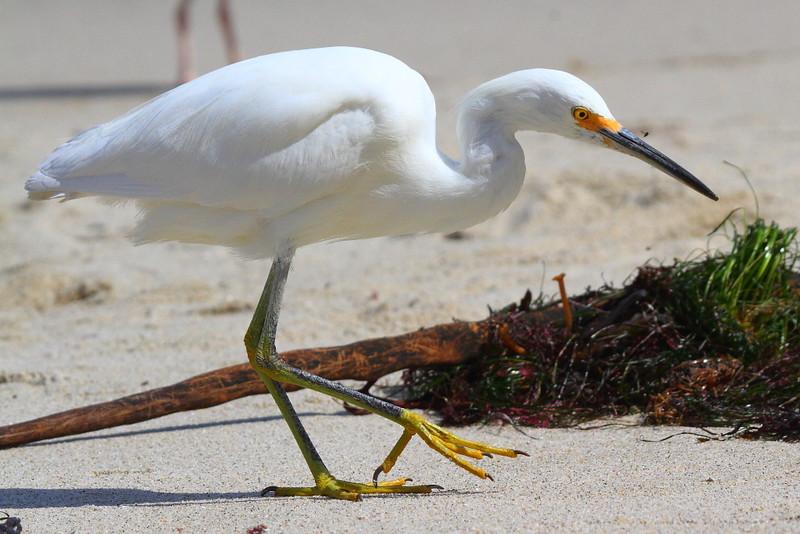 IMG_6048 Snowy Egret