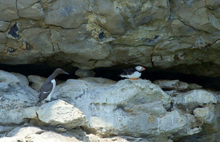 Yes, it's a Dorset Puffin!