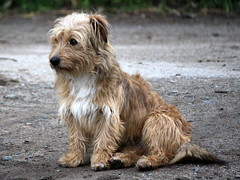 dog breed, animal, dog, schnoodle, pet, norfolk terrier, otterhound, glen of imaal terrier, vulnerable native breeds, catalan sheepdog, dandie dinmont terrier, cairn terrier, irish soft-coated wheaten terrier, australian terrier, carnivoran, terrier,