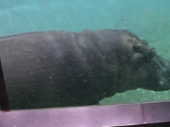 Hippopotamus 3