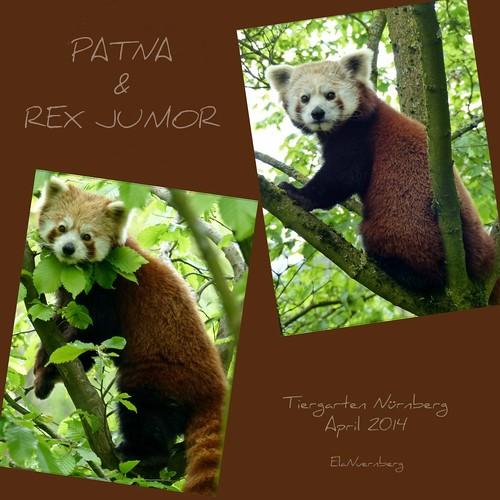 Kleine Pandas/ Katzenbären - PATNA & REX junior