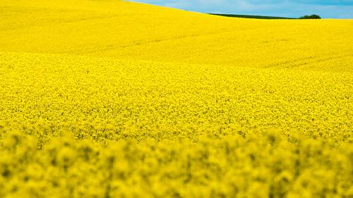 flowers yellow skåne spring sweden rape bara raps canola rapeseed 2014 skã¥ne skånecounty