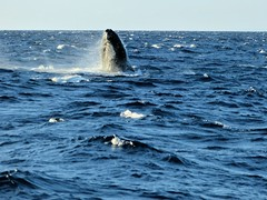 animal, marine mammal, sea, ocean, marine biology, grey whale, wind wave, whales, dolphins, and porpoises,