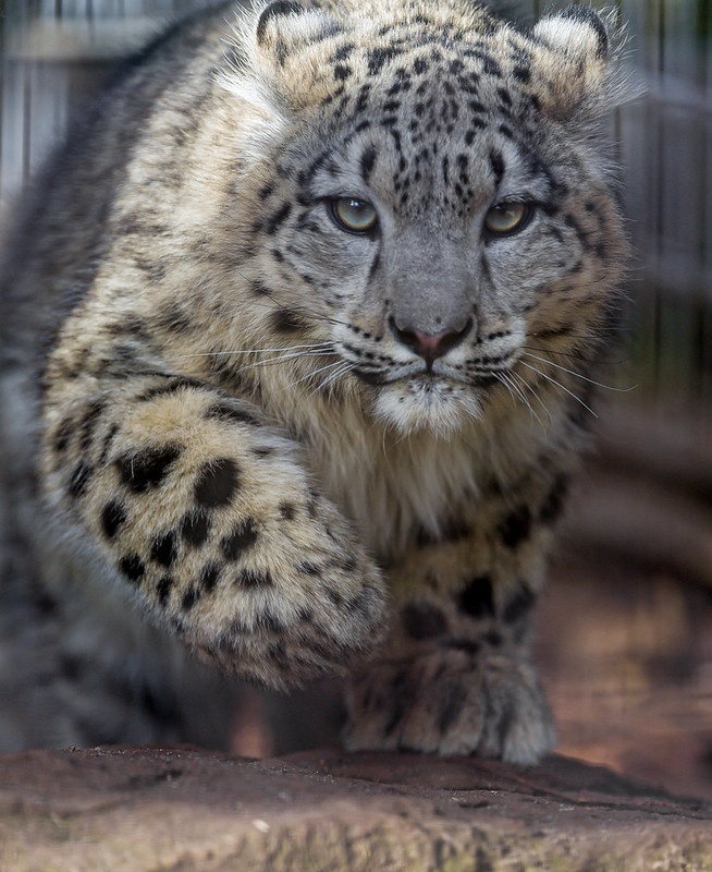 Snow leopard cub coming to me II