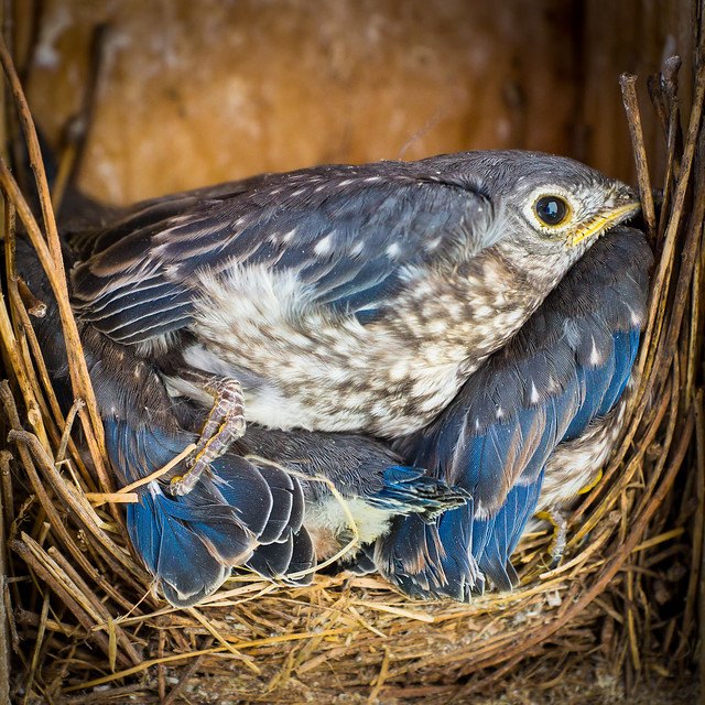 Bluebird, Fledgling, Blue Bird, Nest, Next Box, Young