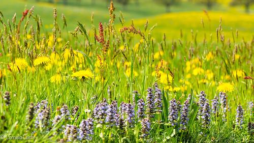 schweiz spring wiese wildflowers frühling thurgau wiesenblumen egnach