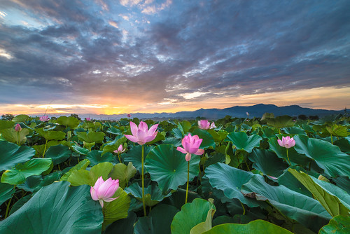 sunrise nikon day lotus cloudy taiwan 台南 f28 荷花 日出 d600 雲彩 白河 14mm 火燒雲 samyang 竹子門