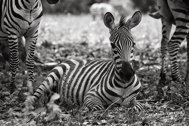 Resting Zebra