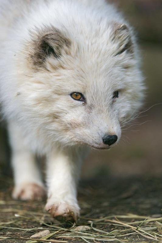 Walking polar fox
