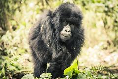 剛果維龍加國家公園(Virunga National Park)境內的年幼大猩猩。(來源:kingjn)