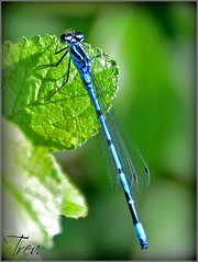 dew(0.0), branch(0.0), water(0.0), moisture(0.0), plant stem(0.0), animal(1.0), damselfly(1.0), dragonflies and damseflies(1.0), leaf(1.0), invertebrate(1.0), macro photography(1.0), green(1.0), fauna(1.0), close-up(1.0),