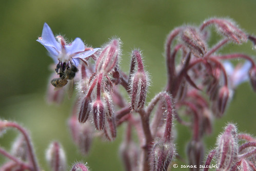 © borage with a bee IMG_0886