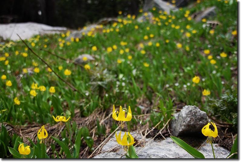 Glacier Lily 20
