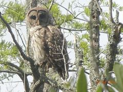 hawk(0.0), falcon(0.0), animal(1.0), bird of prey(1.0), branch(1.0), owl(1.0), fauna(1.0), great grey owl(1.0), bird(1.0), wildlife(1.0),
