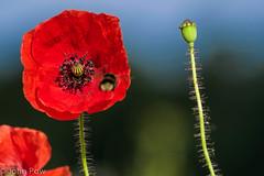Poppy Bee Bokeh