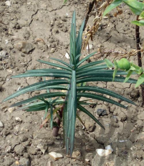 Euphorbia lathyris 14453699021_1eb8120868_o