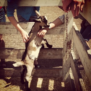 Kidding around! Met newest member of Harley Goat Dairy in #Pescadero with @SuzannePhan. 2-weeks old baby goat liked to nibble sleeves #farm #goat