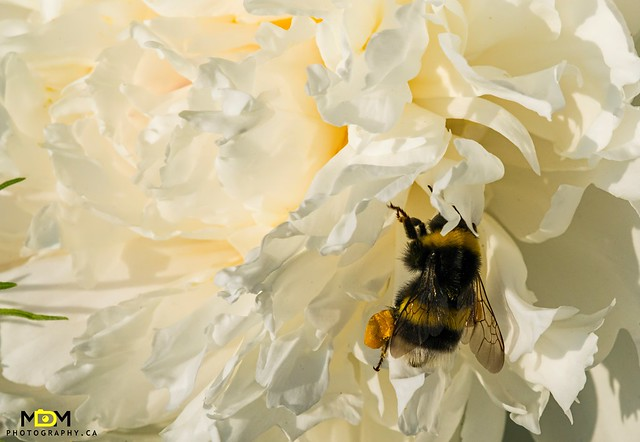 Bee in a Peony