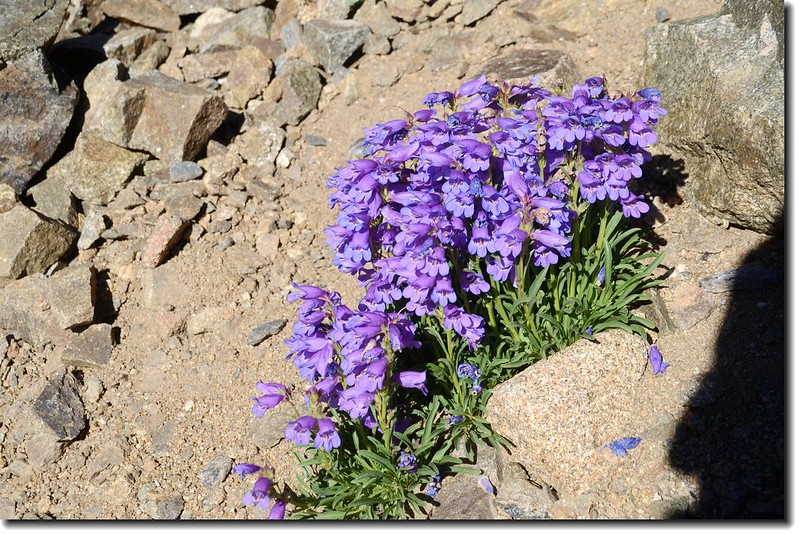 Low Penstemon(Bluemist Penstemon)