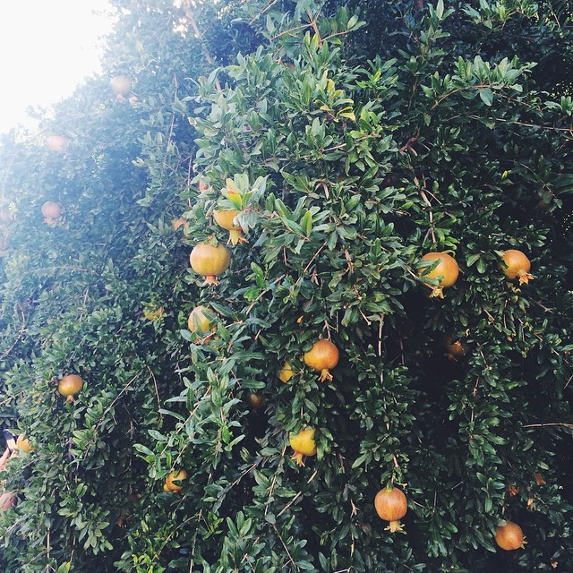 Just strolling through an orchard in Sacramento. Those are pomegranates, y'all! @kjorchards #TASTE14