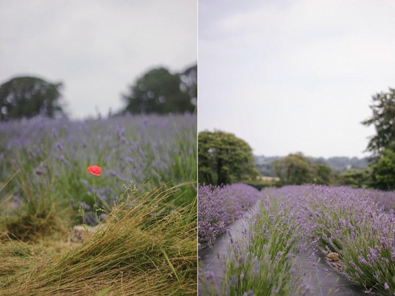 poppy & lavender