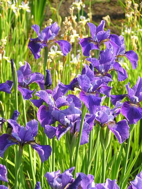 Iris sibirica 'Soft Blue', Tallinn Botanic Garden