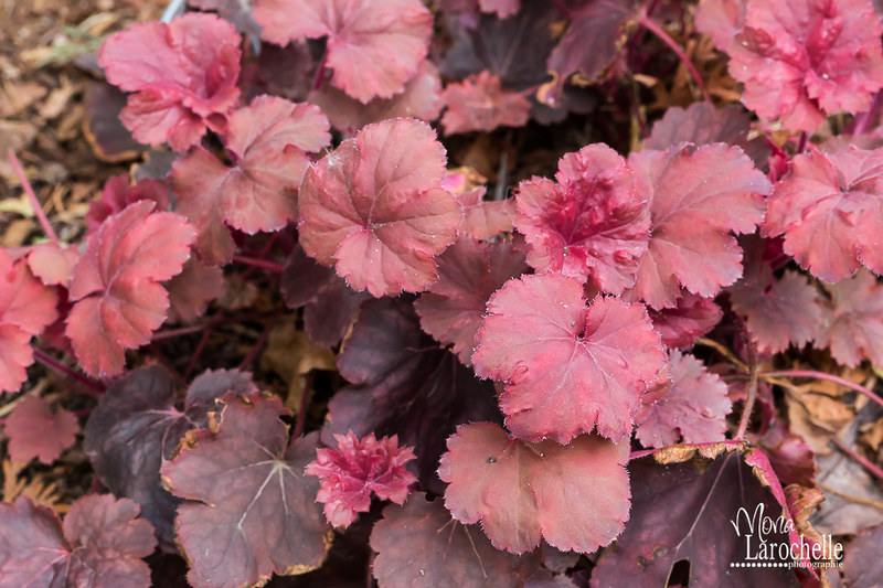 Heuchera Cherry Cola 14644613645_1a14fbd72d_c