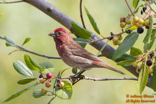 male birds southerncalifornia missionviejo orangecounty purplefinch carpodacuspurpureus canon5dmarkiii anthonygliozzo haemorhouspurpureus arroyotrabucotrailinranchosantamargarita