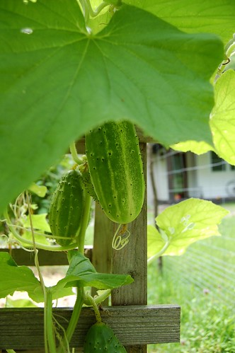 Cucumbers growing on the vine by Eve Fox, The Garden of Eating, copyright 2014