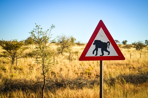 Baboons on the C26, Namibia