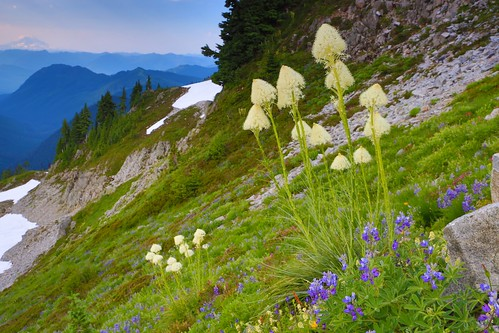Wild flowers at Mt. Rainier