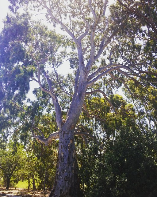 There are some massive gum trees in my neighborhood.