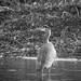 Great Blue Heron in the Lake