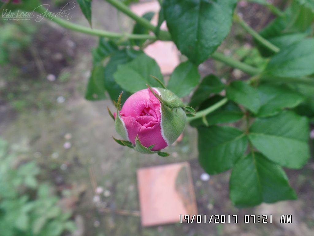 hoa hong cat canh kate rose (5)+vuonhongvanloan.com.JPG