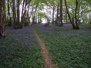 Bluebells in Unnamed Wood near Owlsbury Farm