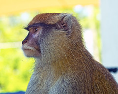 Memphis Zoo 08-31-2016 - Patas Monkey 2